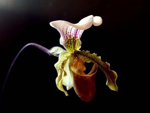 Poster Orquídea 2