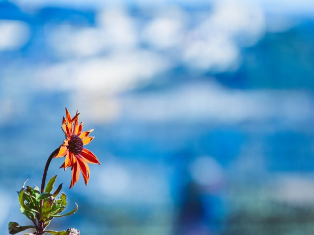 Poster A última flor laranja de Coimbra