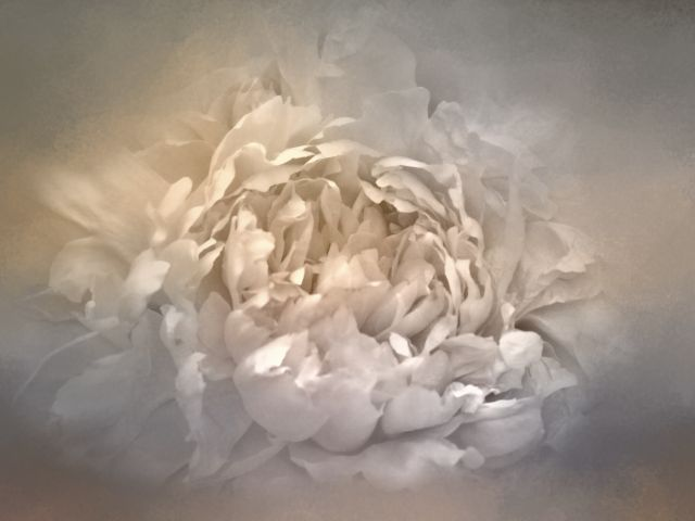 Poster Blushing Silver And Gold Peony