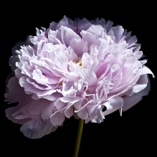 Poster Pink Peony