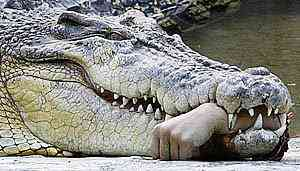 Crocodilo come a mão do tratador