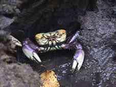 Patinha de caranguejo