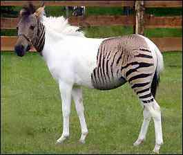 Zorse - filhote de cavalo com zebra
