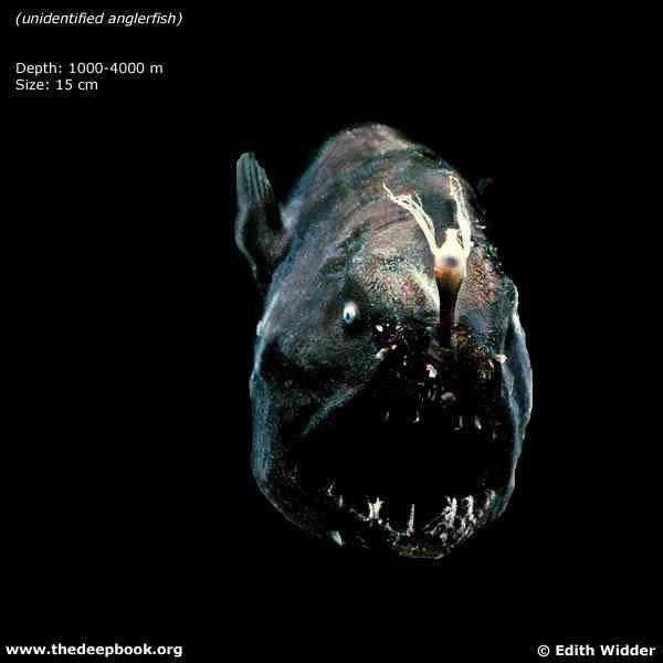 Animais bizarros das altas profundidades II
