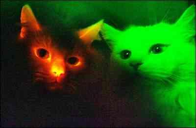 Gato clonado fluorescente