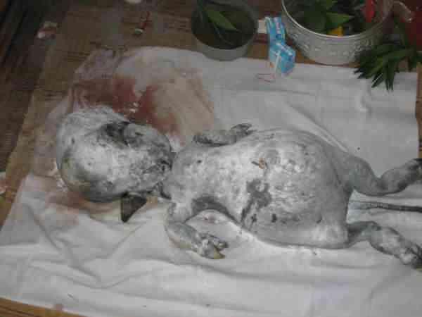 Criatura bizarra que nasceu de uma vaca