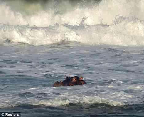 Hipopótamo pegando onda