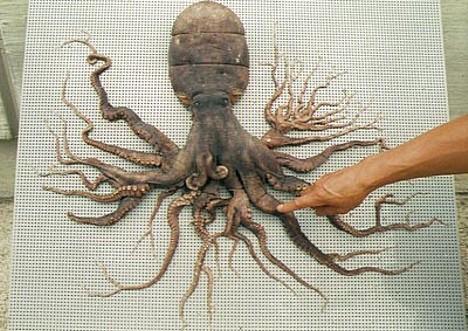 Quantos tentáculos tem um polvo?