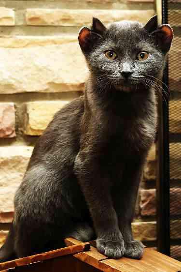 cat-4-ears