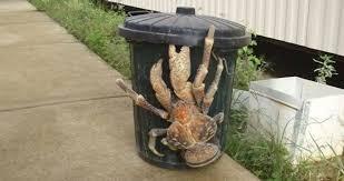 Bicho bizarro: O caranguejo do coco