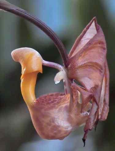 A menor orquídea do mundo e a maior