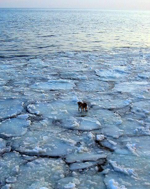 A incrível história de um cão encontrado num iceberg
