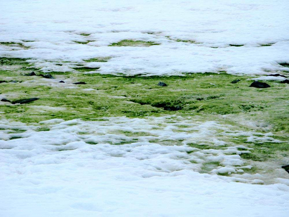 green_chlamydomonas_snow2