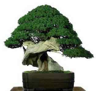 Bonsai: A arte de criar árvores em miniatura