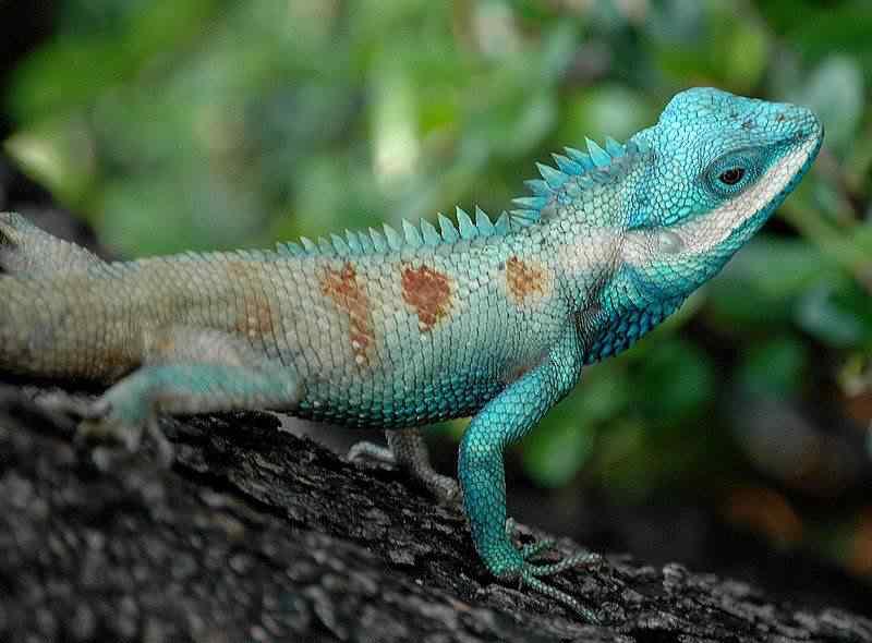 800px Bangkok Reptiles Blue crested Lizard 50 seres inacreditavelmente azuis
