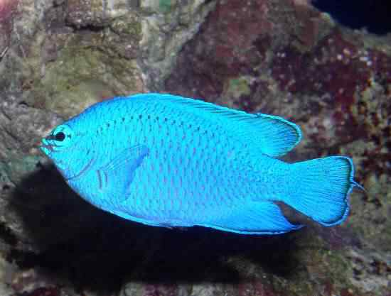 BLUE DAMSEL 50 seres inacreditavelmente azuis