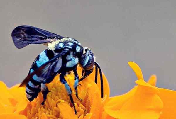 Blue Bee 50 seres inacreditavelmente azuis