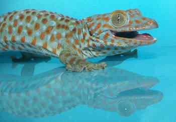 Gekko gecko BLUE 50 seres inacreditavelmente azuis
