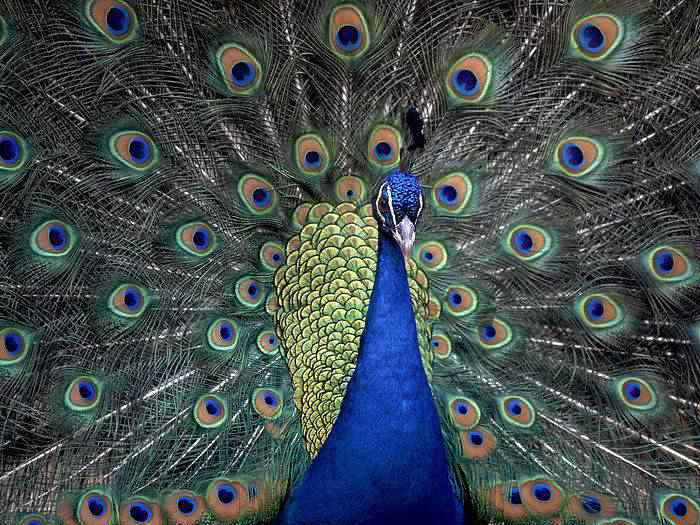 Indian Blue Peacock 50 seres inacreditavelmente azuis