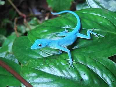 anolis azul2 50 seres inacreditavelmente azuis