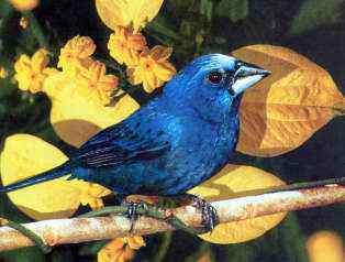 azulao1 50 seres inacreditavelmente azuis