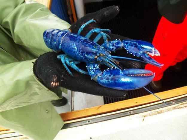 blue lobster caught 50 seres inacreditavelmente azuis