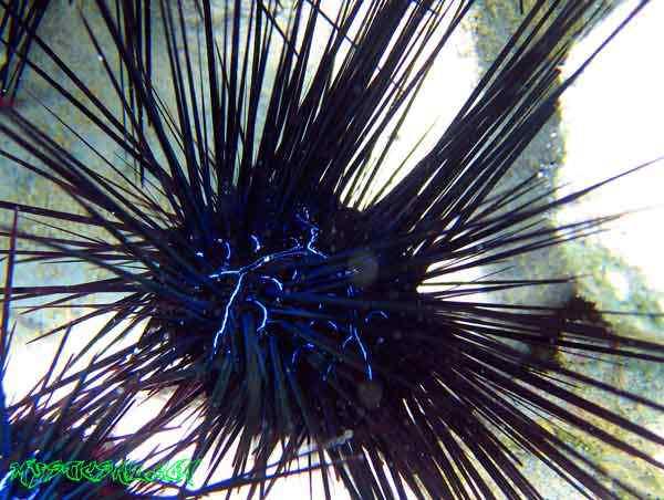 blue urchin web 50 seres inacreditavelmente azuis
