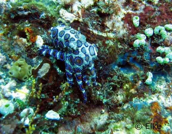blue ring octopus 50 seres inacreditavelmente azuis