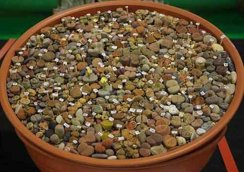 As estranhas plantas-pedra