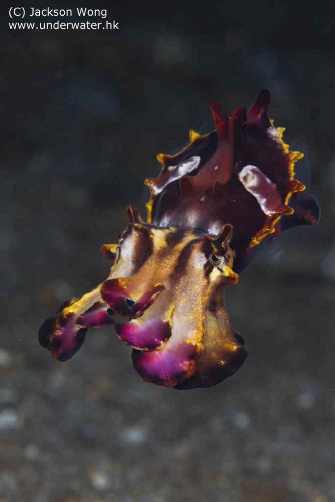 Choco Flamboyant - A orquídea viva do oceano