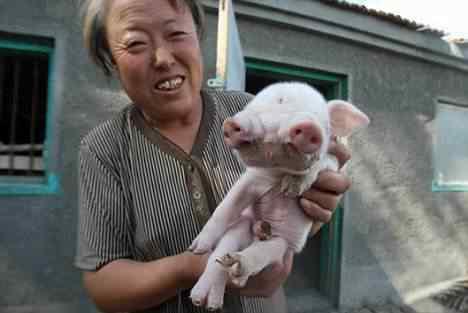 O porquinho que tem 2 focinhos