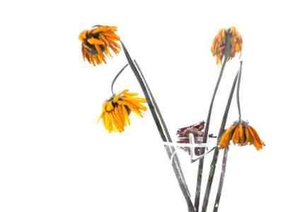Como fazer as flores durarem mais? Com Viagra!