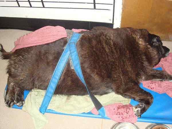 Cachorros, gatos e animais obesos
