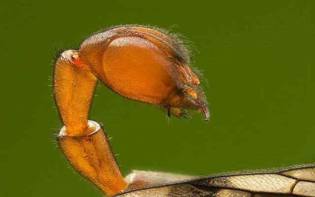 Bichinho do pesadelo: Escorpião que voa?
