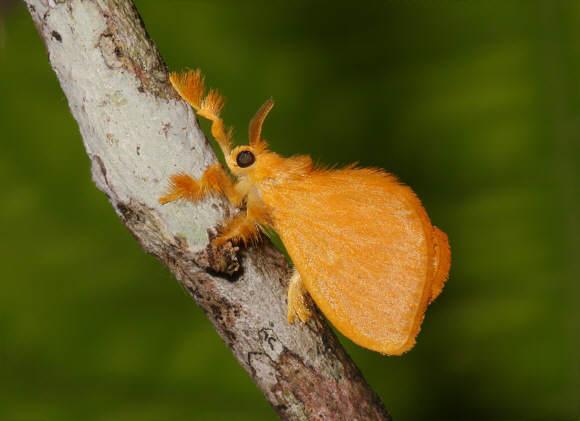 A bizarra mariposa peluda mexicana