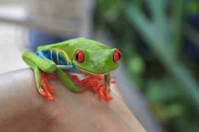 11545846 a tiny brightly colored red eyed tree frog perched on someone s wrist in costa rica Top seres coloridos