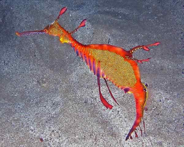 19 seahorse7 1 Top seres coloridos