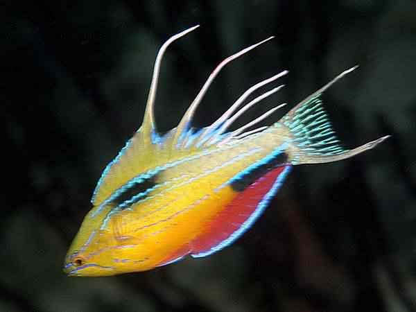 20 species rainbow fish 34637 600x450 Top seres coloridos