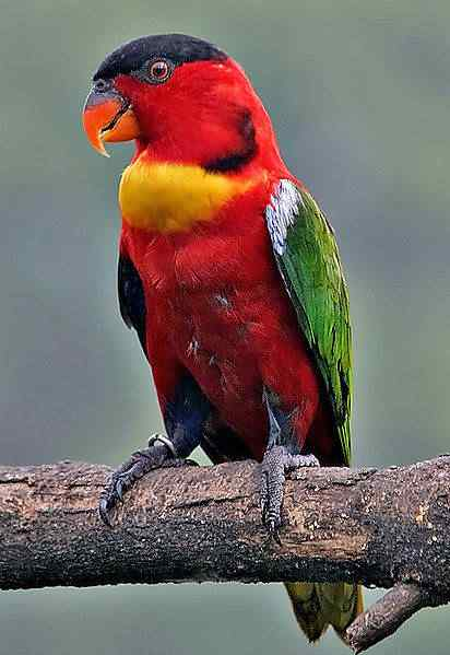 412px Lorius chlorocercus 20040821 Top seres coloridos