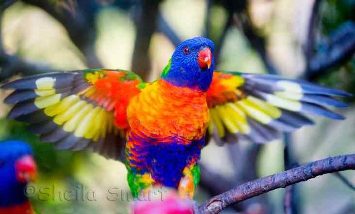 94434 rainbow lorikeet flying Top seres coloridos
