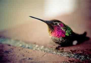 Colibri 1680x1050 extrafondos com Top seres coloridos