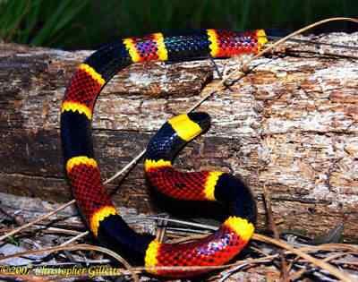 Coral Snake by Manaconda Chris Top seres coloridos