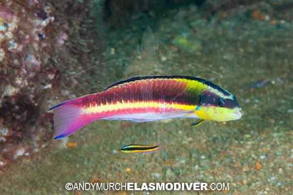 Cortez Rainbow Wrasse 001 Top seres coloridos