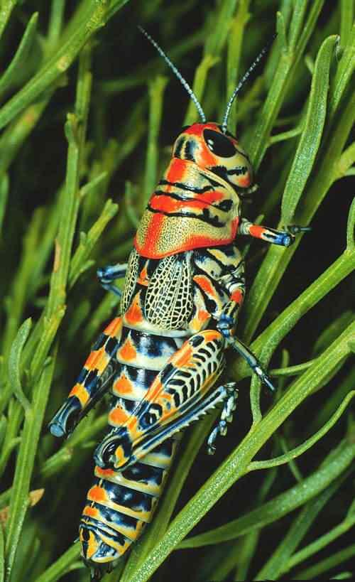 Dactylotum b Top seres coloridos