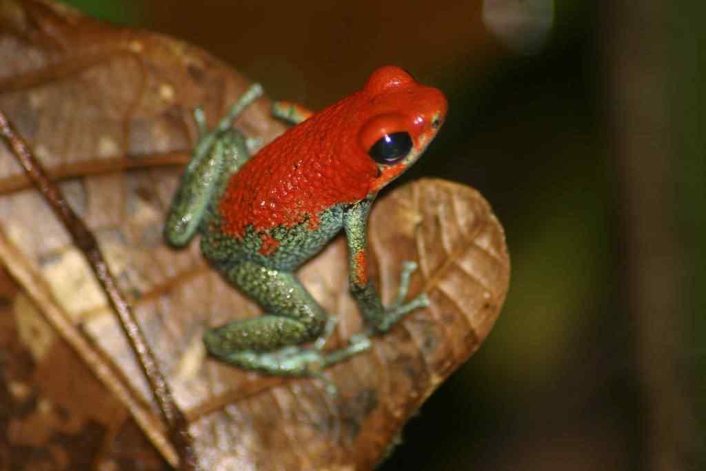 Granular Poison Dart Frog Dendrobates granuliferus Brian Gratwicke Top seres coloridos
