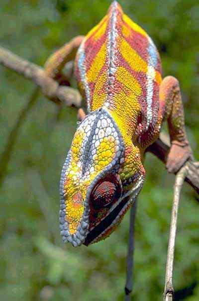 LizardColor Top seres coloridos