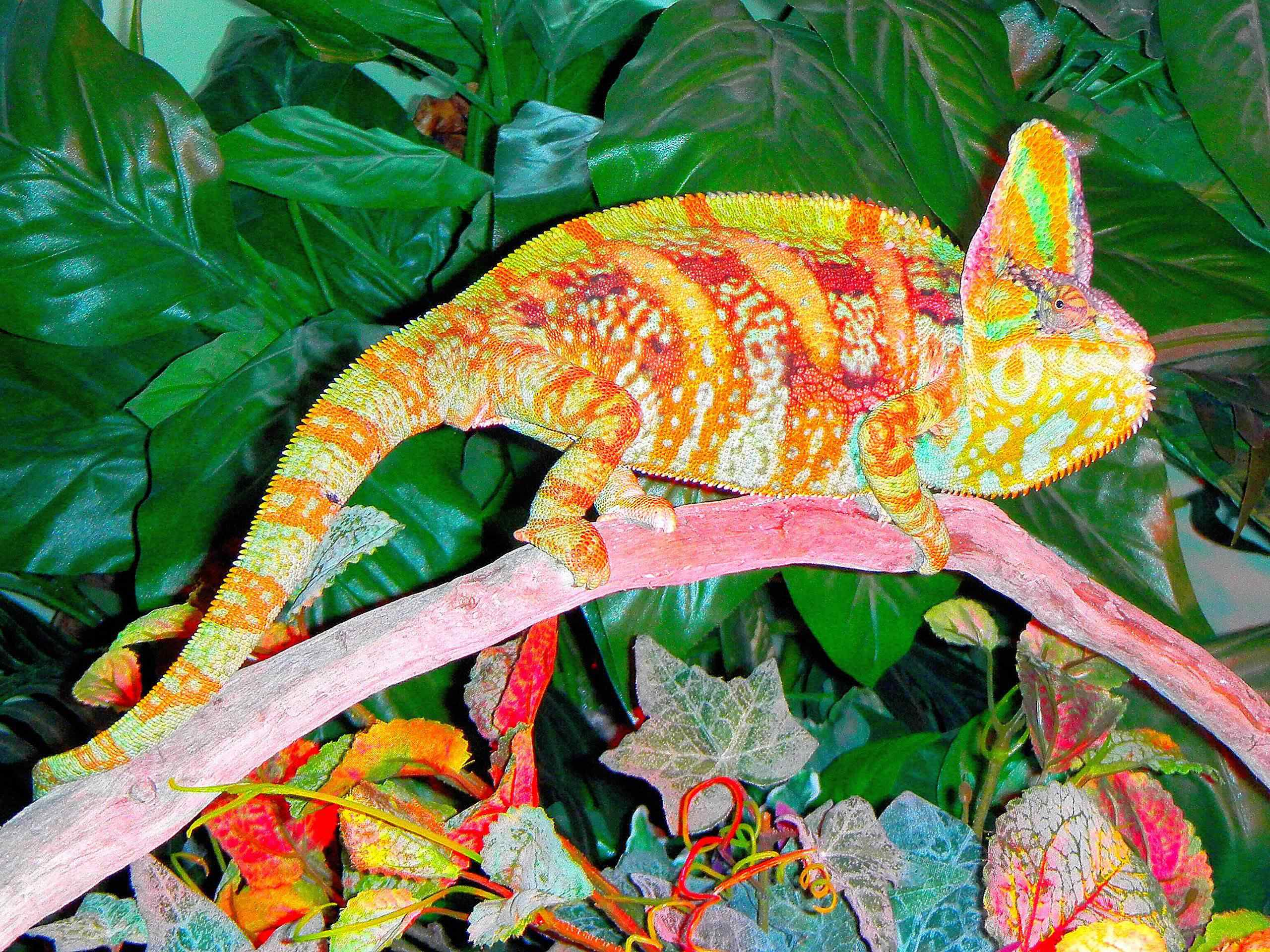 Male Veiled Chameleon Doing Highlighter Impression reptiles 23877195 2560 1920 Top seres coloridos