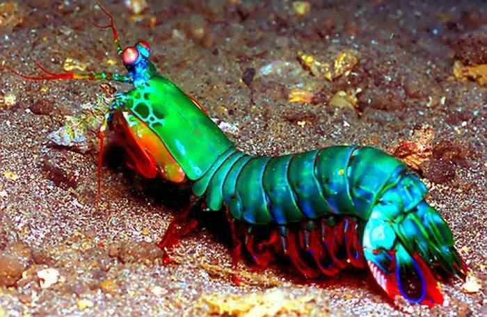 Mantis shrimp Top seres coloridos