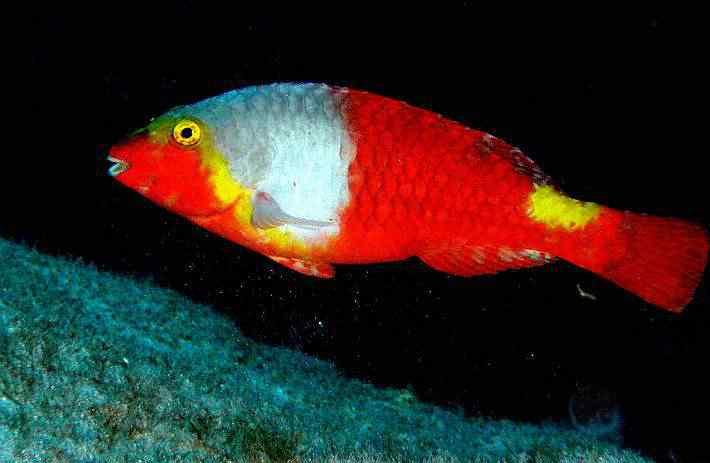Parrotfish Top seres coloridos