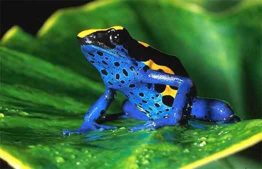 Poison dart frog 2 Top seres coloridos